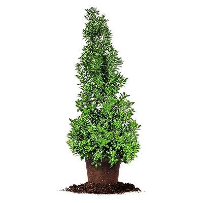 OAKLEAF Holly, Live Plant, Includes Special Blend Fertilizer & Planting Guide (4-5-FT) : Garden & Outdoor