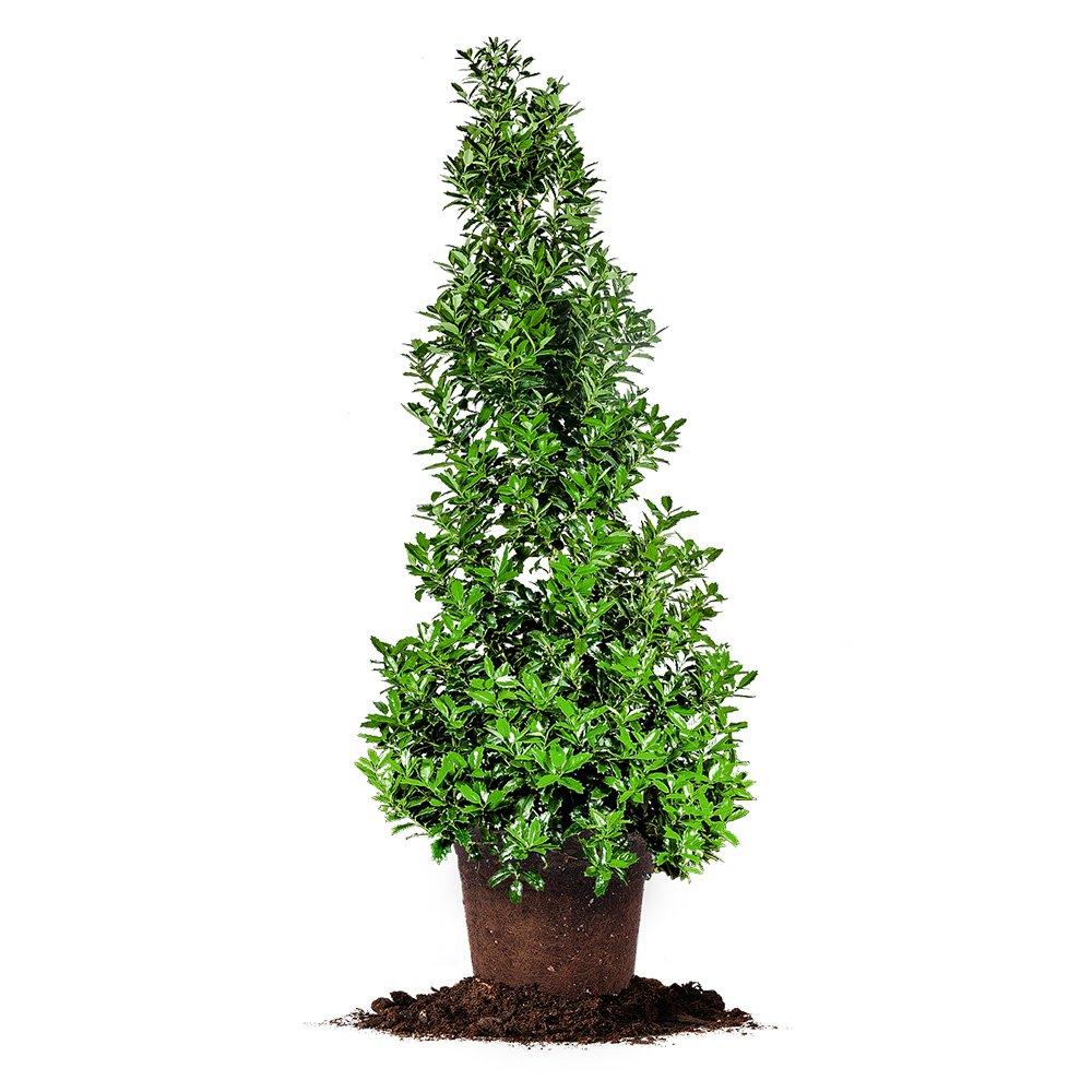 OAKLEAF HOLLY - Size: 4-5 ft, live plant, includes special blend fertilizer & planting guide