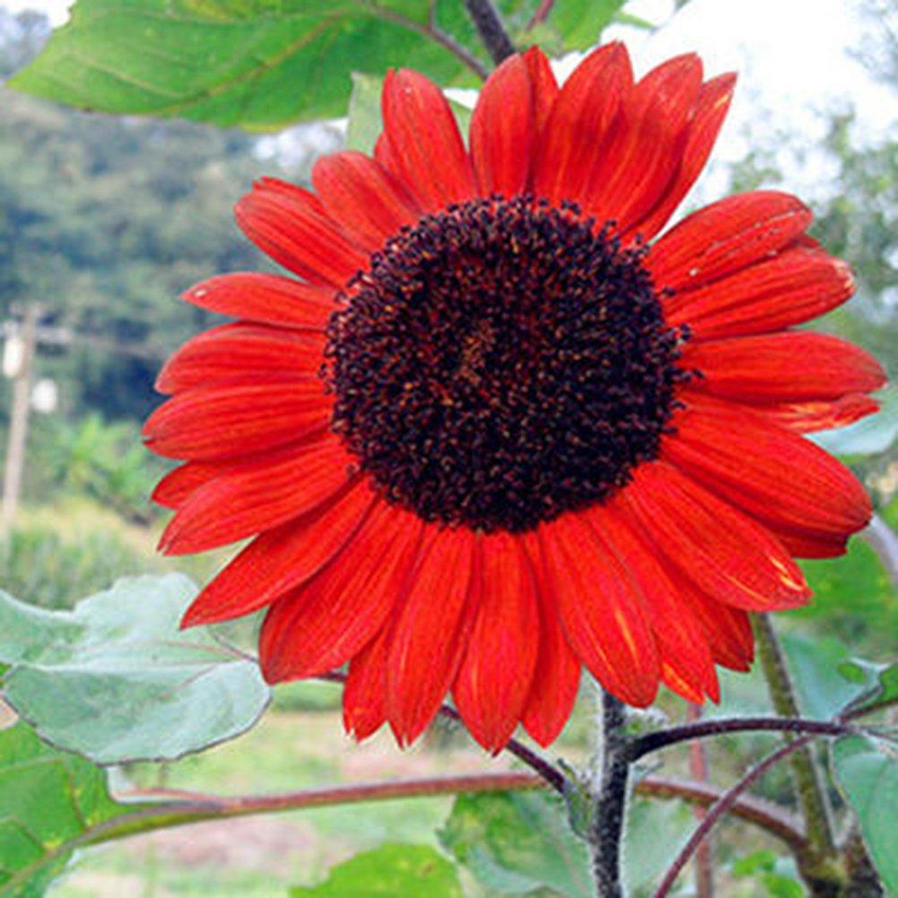 Home Decor Plants Flowers Seeds 15 Pcs//30 Pcs Red Sunflower Rare Flower Seeds Annual Decor Organic Helianthus 15pcs