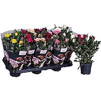 Rosal Mini Bandeja de 10 Unidades de Rosas con Flores de Colores Surtidos Plantas Naturales Rosales de Interior