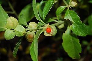 RAJ GARDEN PLANTS Ashwagandha Live Plant (Multicolour)