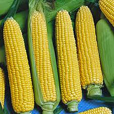 CORN, GOLDEN BEAUTY, HEIRLOOM, NON-GMO, ORGANIC 100 SEEDS, DELICIOUS, GOLDEN AND SWEET : Garden & Outdoor