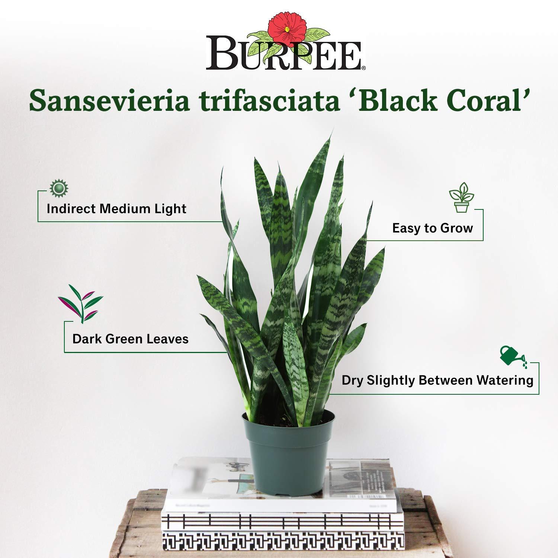 Burpee ' 'Black Coral' Snake Plant     Sansevieria trificiata   Indirect Medium Light     Live Easy Care Houseplant, 6'' Pot by Burpee (Image #2)