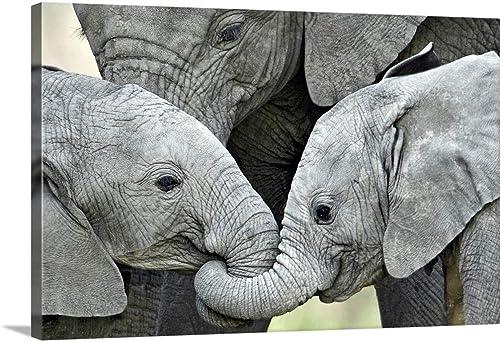African Elephant Calves Loxodonta africana Holding Trunk