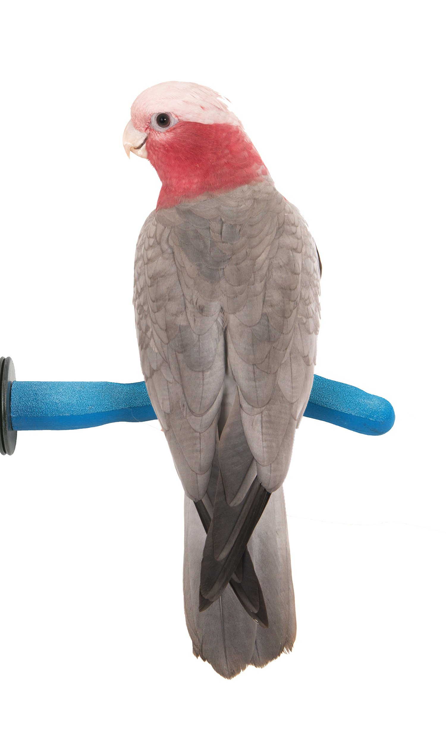 Sweet Feet and Beak Safety Pumice Perch for Birds by Features Real Pumice to Trim Nails and Beak and Promote Healthy Feet - Safe and Non-Toxic, For Bird Cages - [ Medium/Blue ]
