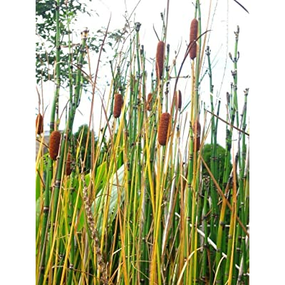 100 Dwarf Cattail Seeds - TYPHA LAXMANNI - Perfect for Small Ponds : Garden & Outdoor