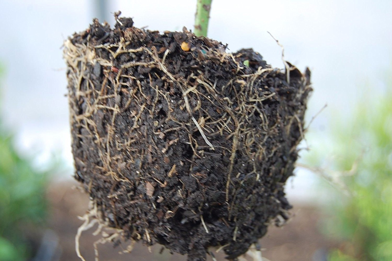 12 Plants - Nellie R Stevens Holly Tree Evergreen Established Rooted
