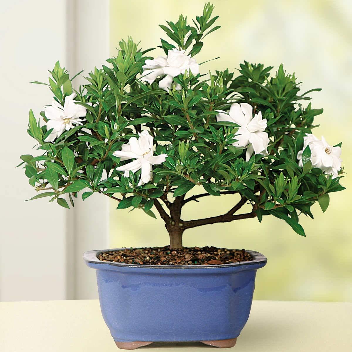 Amazon Com Gardenia Bonsai Live Indoor Bonsai Plants Grocery Gourmet Food