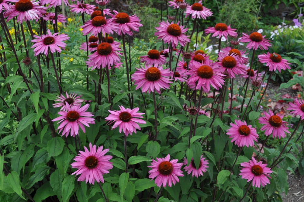Non GMO Bulk Purple Coneflower Seeds Echinacea purpurea 150,000 Seeds (1 Lb)