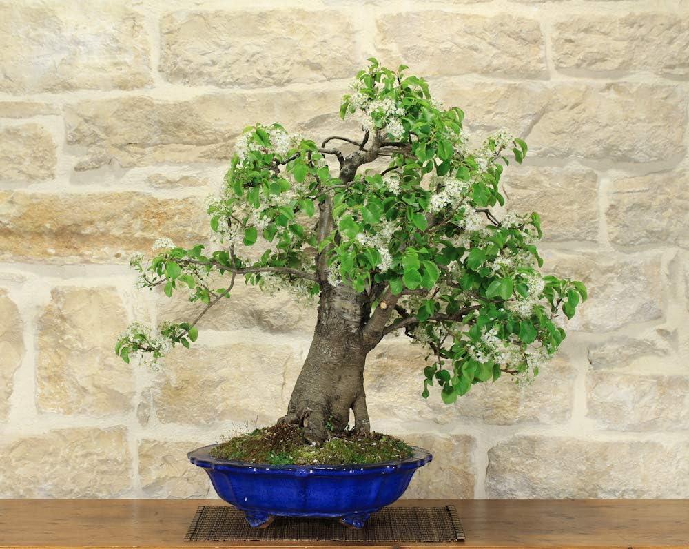 Wild Cherry Bonsai Tree 89 Amazon Co Uk Garden Outdoors