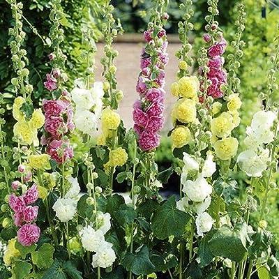 David's Garden Seeds Flower Hollyhock Chaters Double Mix SL7446 (Multi) 50 Non-GMO, Open Pollinated Seeds : Garden & Outdoor