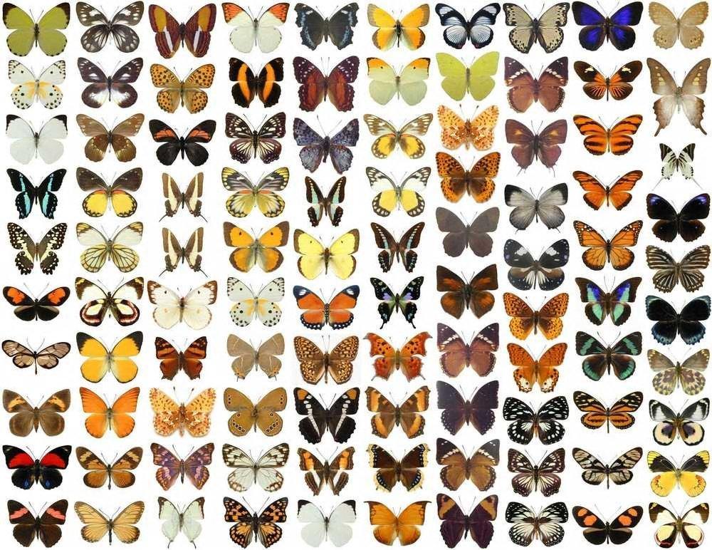 Amazon.de: 100 x unmontiert Echte getrocknete Schmetterlinge für ...