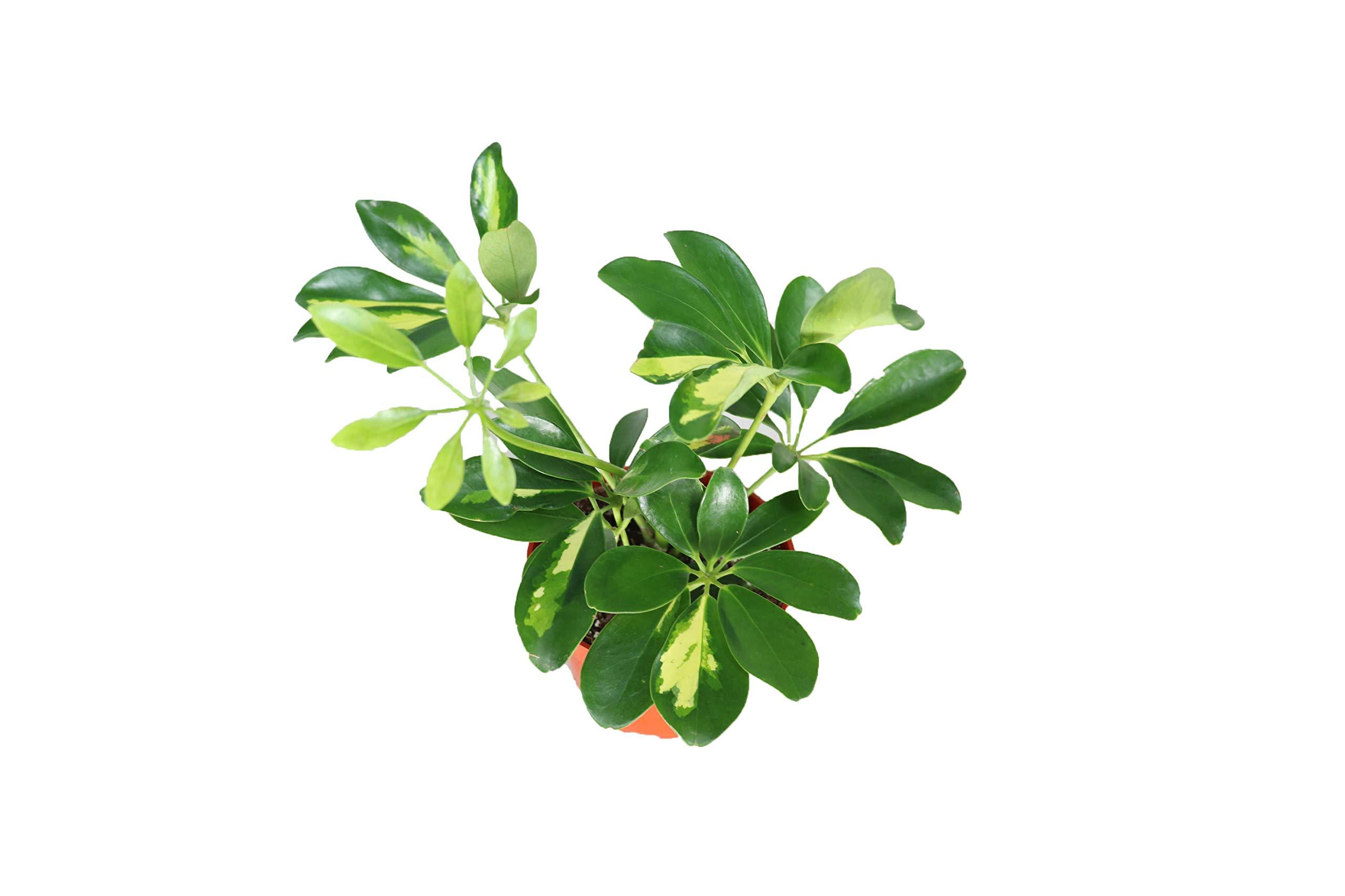 Schefflera Arboricola 'Gold Capella' - 4'' from California Tropicals