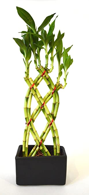 9greenbox Lucky Bamboo 8 Braided With Black Ceramic Vase