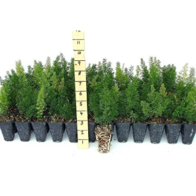 Foxtail Fern - 10 Live Plants - Asparagus Densiflorus 'Myers' - Tropical Groundcover Foliage : Garden & Outdoor