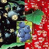 Cassis/Groseille/Myrtille Peignes - 3 plantes