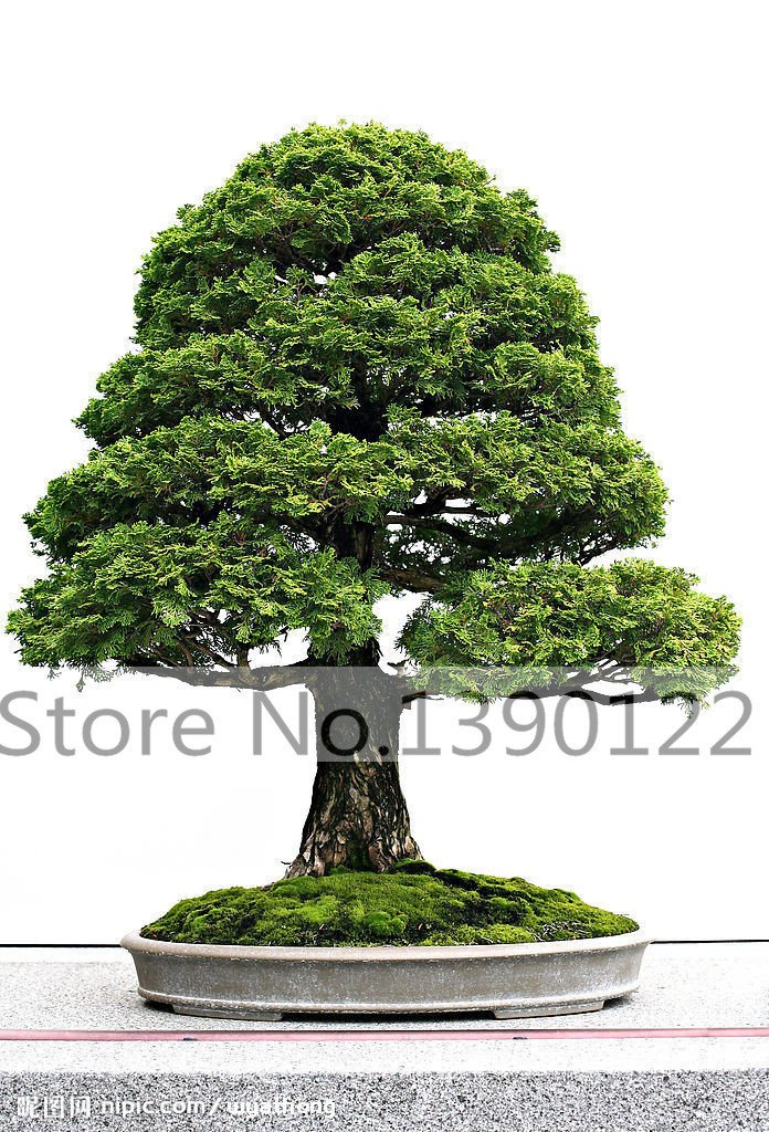 100/bag Cypress trees seeds bonsai cypress Tree Seeds Mini Bonsai PlantsTree for home decoration SVI