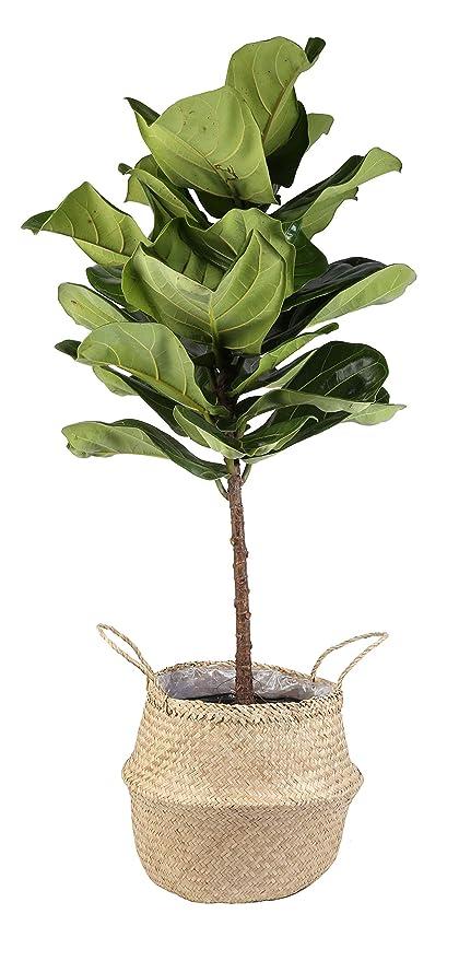 Amazoncom Costa Farms Live Ficus Lyrata Fiddle Leaf Fig Indoor