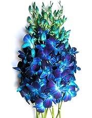 Just Orchids - Fresh Blue Dendrobium Orchids