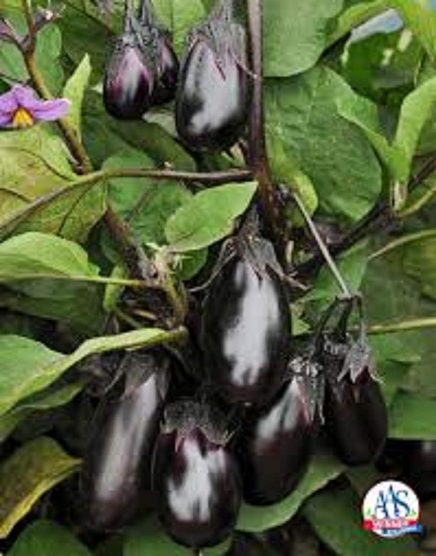 4 Plants Aubergine//Eggplant UK Grow Your OWN Live Plant