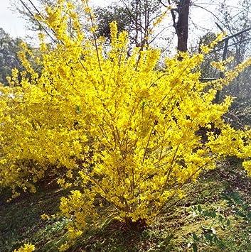 Amazon 1 gallon forsythia evergold variegated forsythia image unavailable mightylinksfo