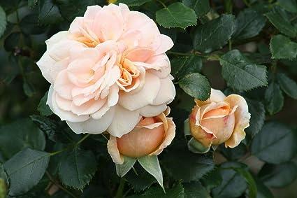 Cream Veranda Rose   Disease Resistant   4u0026quot; Pot   Fragrant Flowers