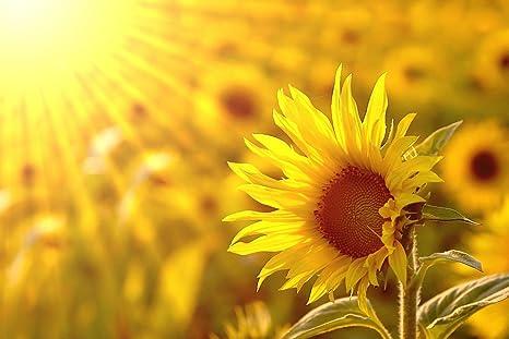 Gsquare Wallpaper Sun Flower Wallpaper Hd Media Quality