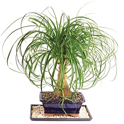 Ponytail Palm (Bonsai Tree) - Home Or Office Indoor Live Plant 7 Years Old: Garden & Outdoor