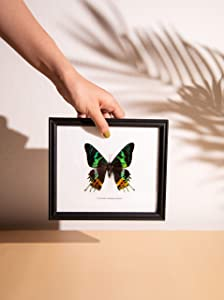 The Madagascar Sunset Moth (Chrysiridia madagascariensis) | Framed Beautiful Butterfly Wall Decor | Unique Taxidermy Collectables | 8 x 7 inches
