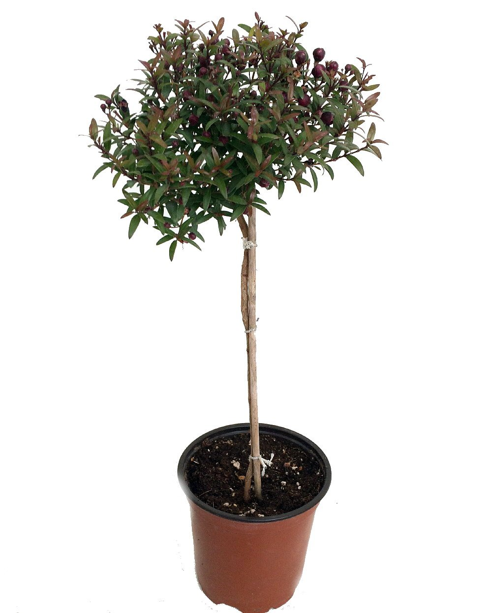 Biblical Myrtle Herb Plant - Myrtus - Ancient Herb - 4.5'' Pot - Topiary by Hirt's Gardens (Image #1)