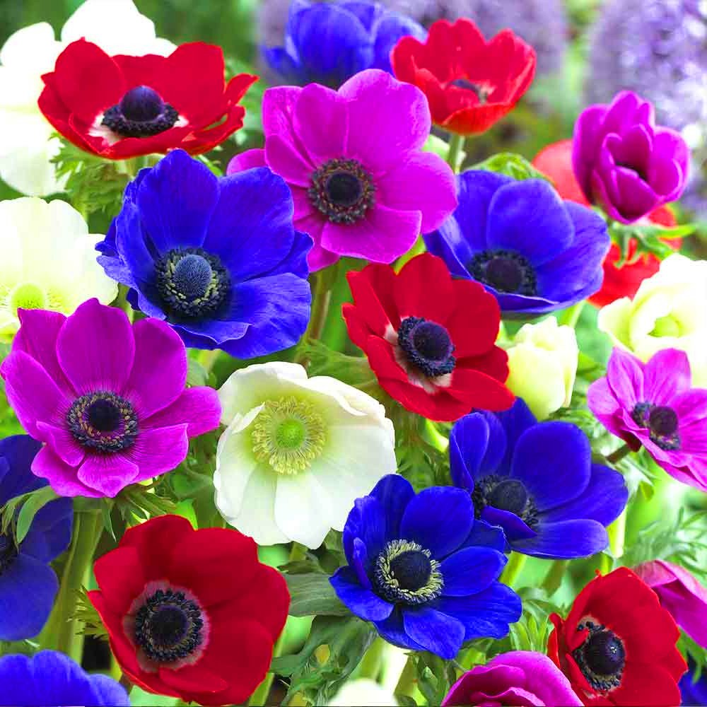 Anemone De Caen Mixed Coronaria Indoor Outdoor Spring Flowering Bulbs Plants (5) GardenersDream