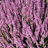 Calluna Vulgaris Seed,Scotch heather, an evergreen ground cover or low shrub.(100 Seeds)