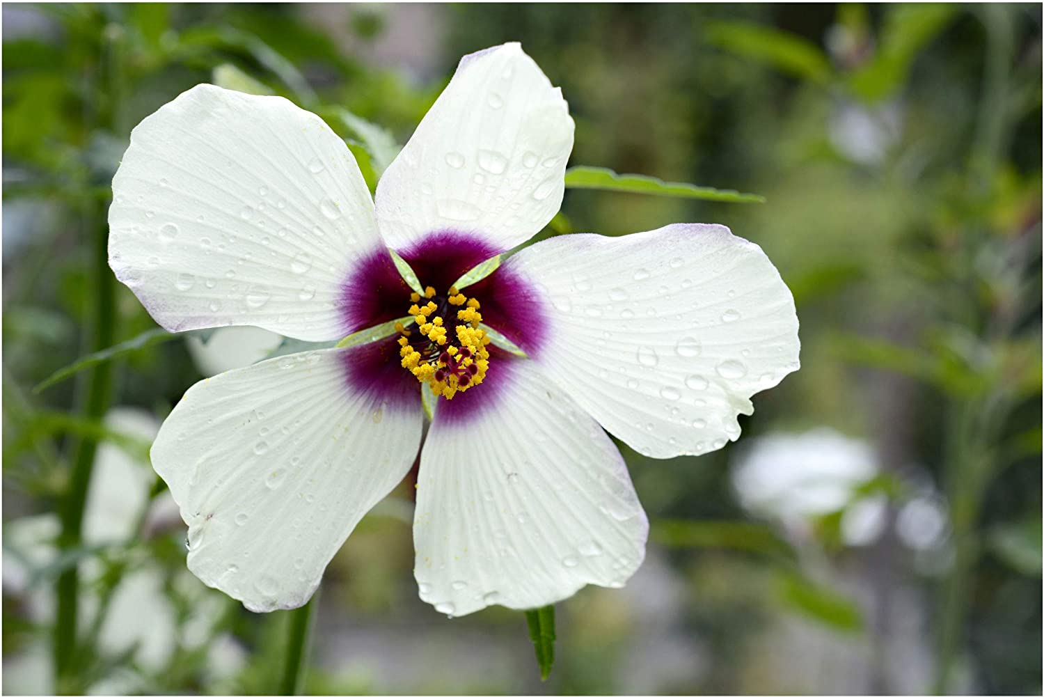 Amazon Com 15 Seeds White Hibiscus Kenaf Flower Attracts