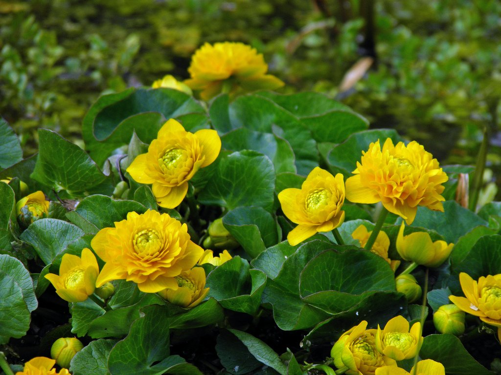 Caltha palustris plena (Double marsh marigold)-None-1 Ltr Lincolnshire Pond Plants