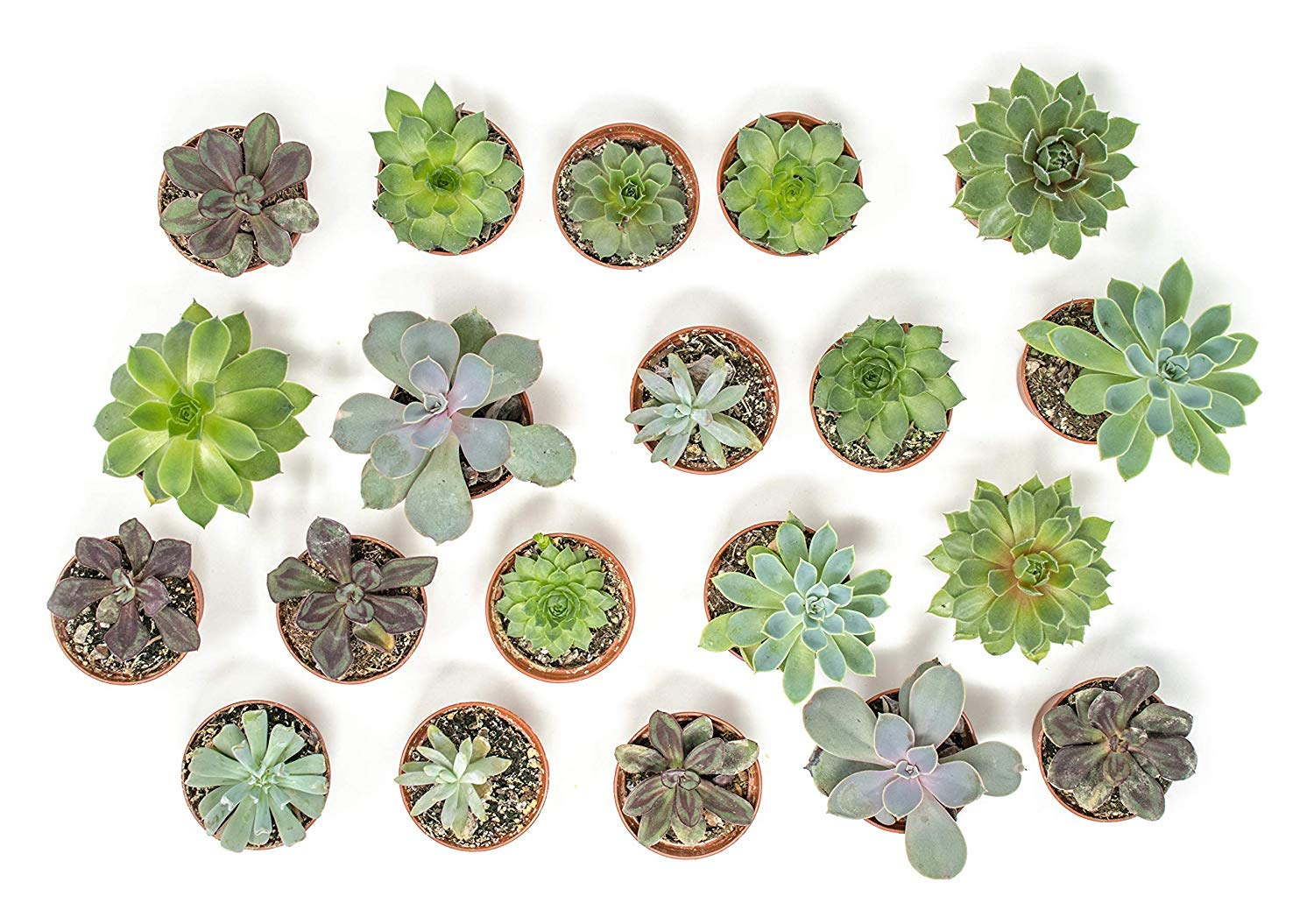 20 Live ''B-Grade'' Succulents | House Plants with Minor Flaws | Healthy Discounted Cheap Succulent Plants in Planter Pots with Soil by Plants for Pets by Plants for Pets (Image #9)