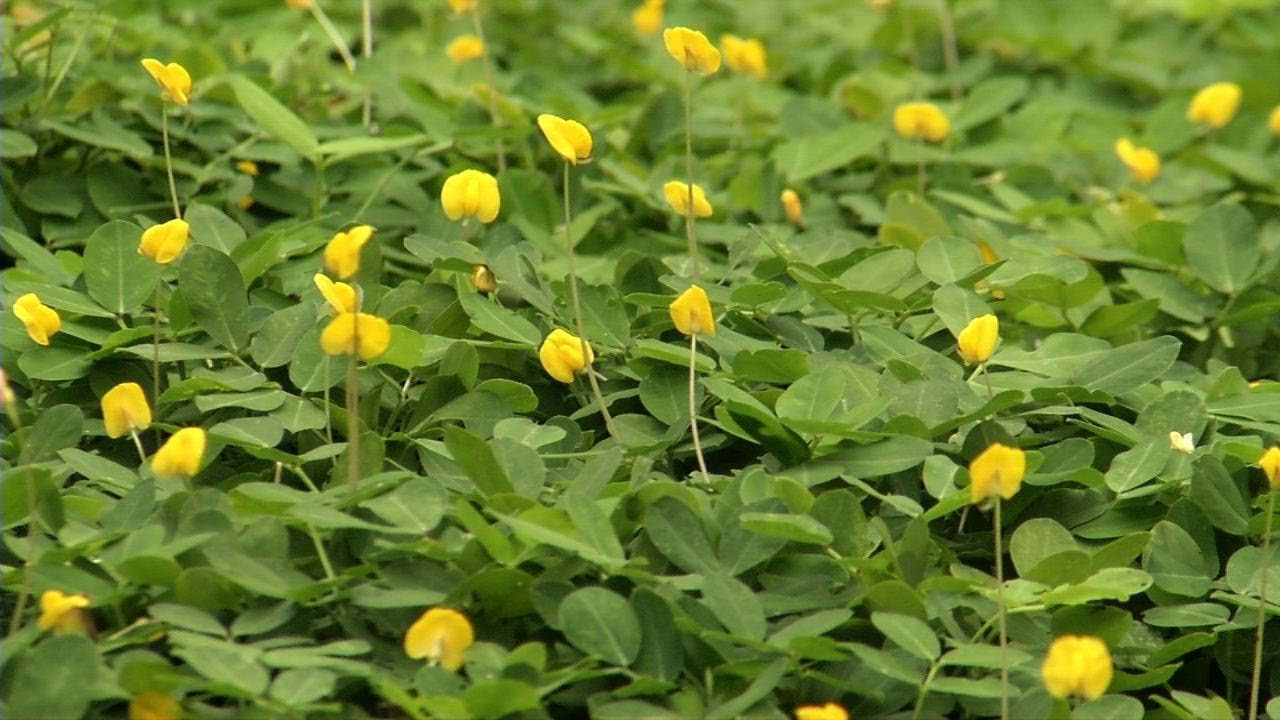 Ornamental Peanut Grass - Arachis Glabrata - 40 Live Plants - 2'' Pot Size - Fully Rooted Drought Tolerant Ground Cover by Florida Foliage (Image #5)