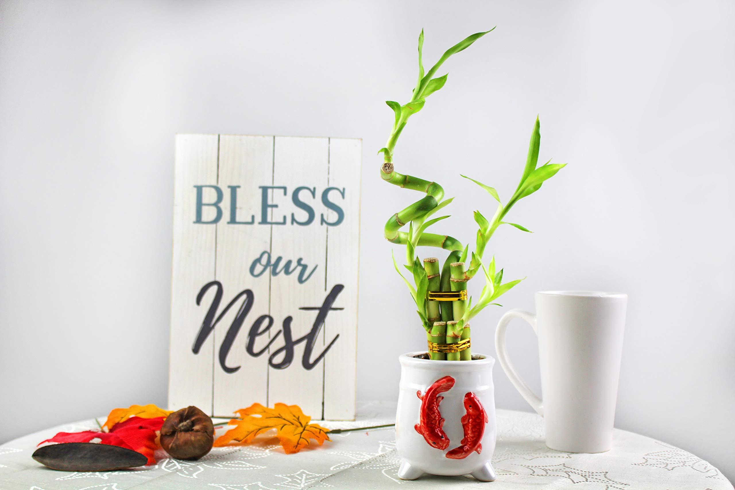 Live Lucky Bamboo 8-Inch Spiral Bamboo - Bundle of 10 Stalks - Live Indoor Plants for Home Decor, Arts & Crafts, and Feng Shui by NW Wholesaler