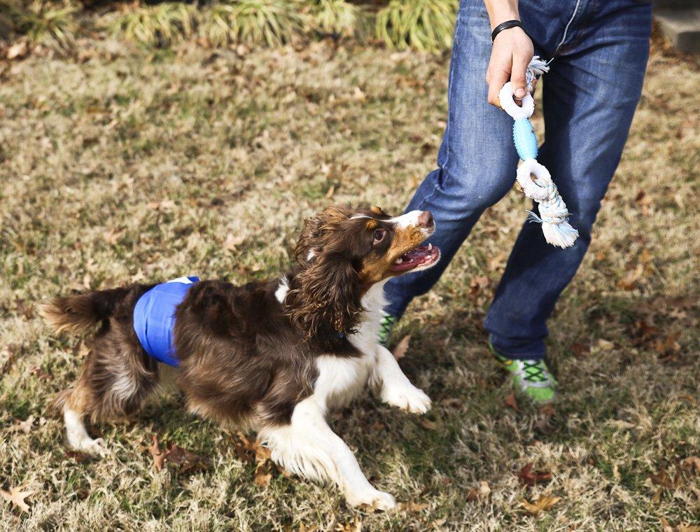Pet Parents Premium Washable Dog Belly Band (3pack) of Male Dog Diapers, Color: Gentlemen, Size: Medium Dog Wraps by Pet Parents (Image #7)