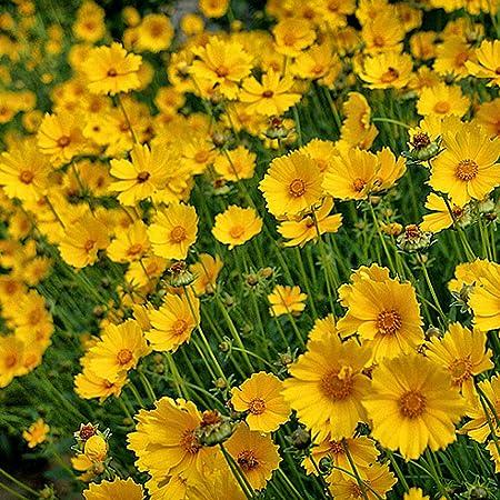 jardín Ornamental balcón,Semillas de Coreopsis Semillas de crisantemo en macetas de Interior Flores de jardín-5 kg,Jardín Planta en Maceta perenne: Amazon.es: Hogar