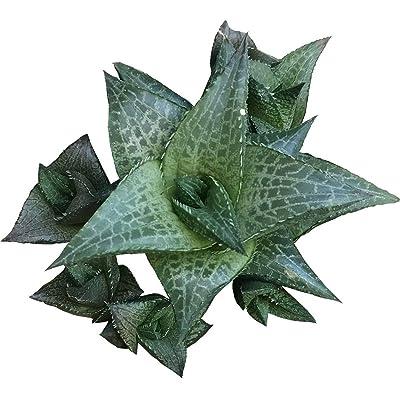 Haworthia venosa subsp. Tessellata Aloe parva Tessellata (4 inch Pot) : Garden & Outdoor
