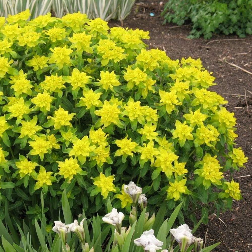 Amazon Com Outsidepride Euphorbia Seeds Cushion Spurge 150