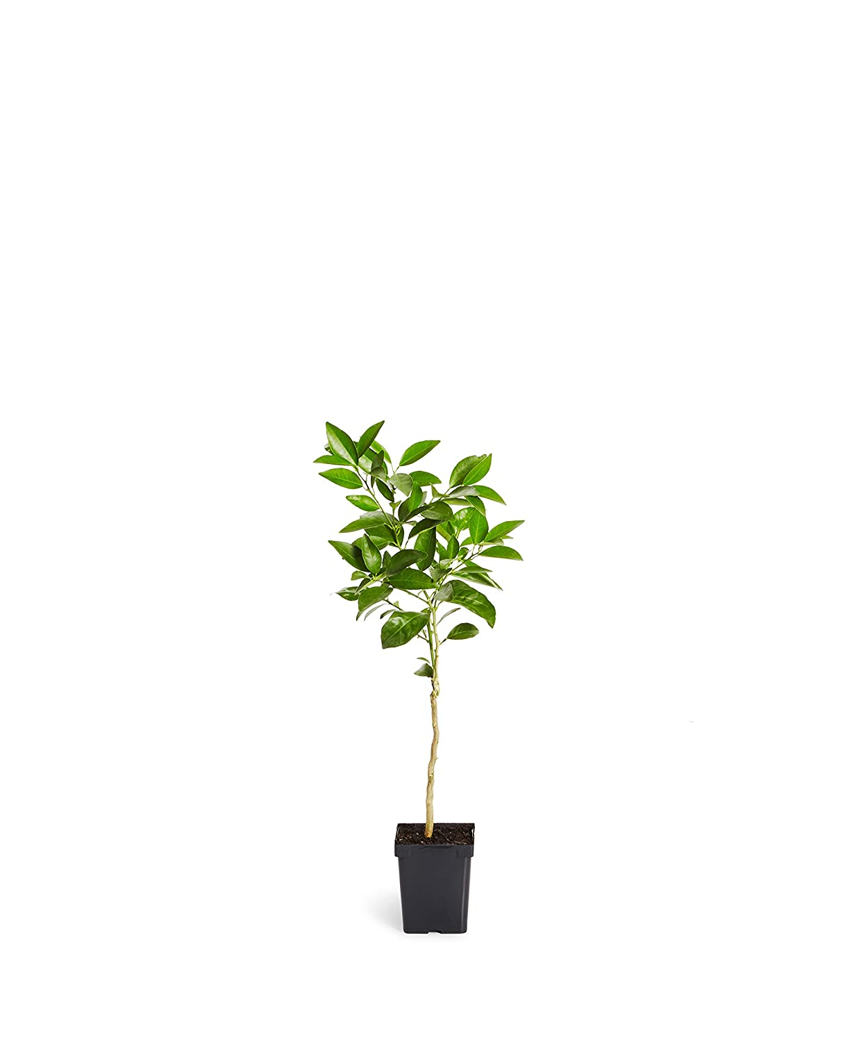 1-2 feet tall Blood Orange Trees - Grow Your Own Oranges with Indoor Citrus Trees Brighter Blooms