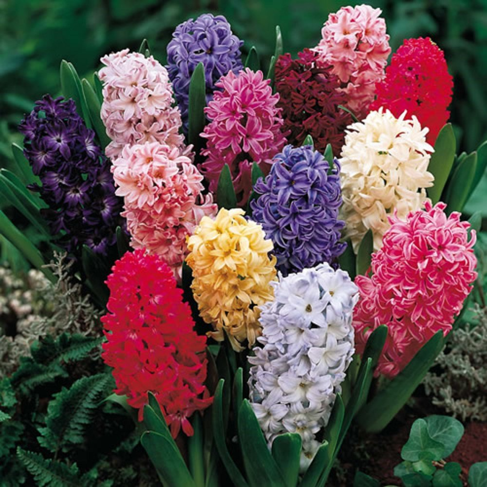 Millthorpe Plant Centre - 6 Prepared Mixed Hyacinth Bulbs - Bulb size 16/17 - Plant Indoors or Outdoors -Free P& P