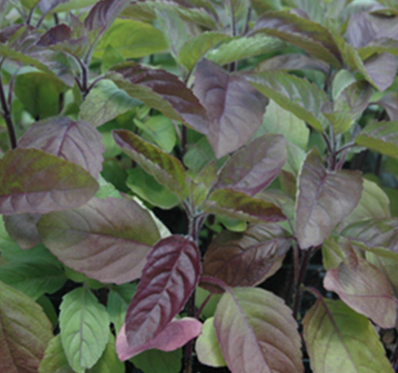 RWS 1000 semillas Krishna Tulsi, albahaca santa, Ocimum tenuiflorum, albahaca santa Rojo
