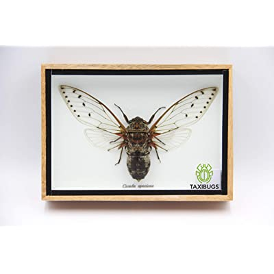 Cicada Speciosa insect taxidermy in wood box framed: Toys & Games