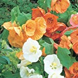 Abutilon Bella Select Mix 5 Seeds Amazoncouk Garden Outdoors