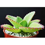 Mother of Thousands Kalanchoe Daigremontiana Mexican Hat Plant Rare Succulent 4 by exotic_cactus_collection