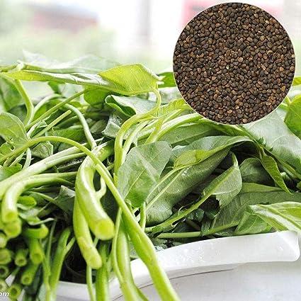 Amazon.com: 500 semillas de Spinach para agua, hojas verdes ...
