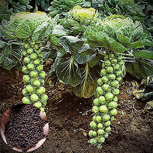 SunYueY Semillas, 400 Unids Hogar Jardín Vegetales Coles De ...
