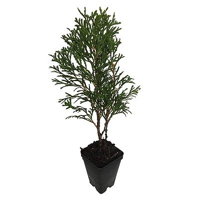 3 Emerald Green Arborvitae in 2.5 inch pots (one Plant per Pot, 3 pots) : Garden & Outdoor